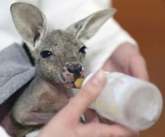 """baby """"joey"""" Kangaroo loves her bottle as much as any baby does Funny Animal Images, Funny Animals With Captions, Cute Funny Animals, Cute Baby Animals, Animal Pics, Joey Kangaroo, Funny Looking Animals, Cute Puppies, Animals"""