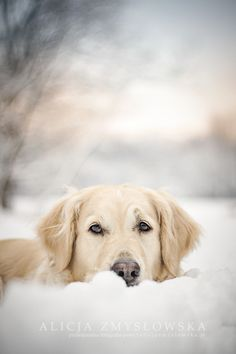 Golden Retriever #SnowDogs Spaniel Terrier Dog Photography Puppy Hounds Chien Puppies Pup Snow Dogs