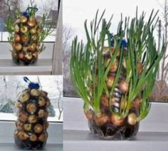 How To Grow An Endless Supply Of Onions Indoors. You don't have to go to the supermarket if you ran out of onions. In fact, you'll never run out of onions if you knew this trick... http://www.diycraftsideas.com/how-to-grow-an-endless-supply-of-onions-indoors
