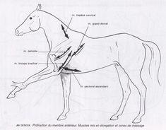 Stretching du membre antérieur pour le cheval et le chien