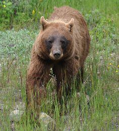 Cinnamon Black Bear, via Flickr.