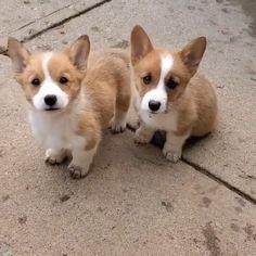 Cute Corgi Puppy, Cute Dogs And Puppies, Corgi Dog, Lab Puppies, Corgi Husky Mix, Pembroke Welsh Corgi Puppies, Cute Puppy Videos, Cute Animal Videos, Corgi Videos