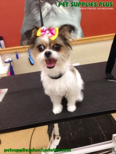 Pearl looking cute after her spa day with Kaytee! Pet Supplies Plus, Spa Day, Dog Grooming, Chihuahua, Charlotte, Pearl, Dogs, Cute, Animals