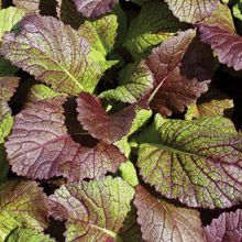 Giant Red Mustard.  When small, the lovely burgundy-coloured leaves with light green veins are so mild and delicious they can be eaten in salads. In summer, big leaves pack a proper mustard punch but they are much milder when cooked or when grown in cooler weather. Very winter-hardy, Giant Red can be planted into October or in early spring to harvest as small leaves every few days. For big plants, thin to 20-30cm (8-12).