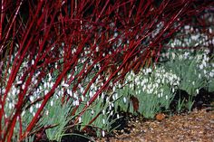 So beautiful: red twig dogwoods with snowdrops beneath. Wish I'd put snowdrops under my dogwood now.