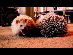 Indisputably True Facts About Hedgehogs