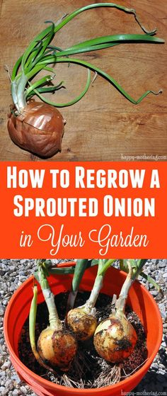 Wondering what to do with that sprouted onion in your produce basket? What if I could show you how to use it to grow a brand new onion in your garden?