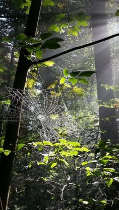 Spiderweb in forest #iphone #wallpaper