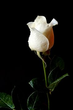 Photograph White rose by darko skender on 500px