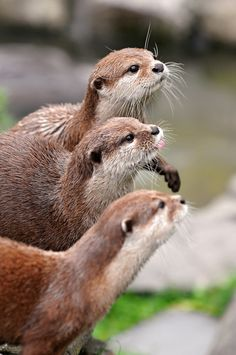 Three in a row | Three very cute dwarf otters waiting to be fed with little pieces of meat.
