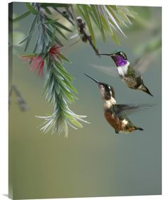 Feng Shui Painting White-Bellied Woodstar Hummingbird Male and Female 24  x 32  x 1.5   Buy inspirational Feng Shui vertical fine art photo White-Bellied Woodstar ...   https://nemb.ly/p/4ybHS1B8_ Happily published via Nembol