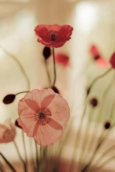 Pink and red poppies. I love the happy pep of poppies; wish they weren't involved in all that opium nonsense. Colorful Roses, Jolie Photo, Pretty Pictures, Mother Nature, Planting Flowers, Flower Arrangements, Beautiful Flowers, Bloom, Inspiration