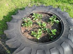Tractor tire strawberry patch.