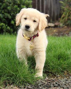 Rhett the Golden Retriever puppy