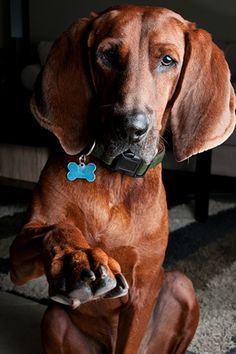 Article about Redbone Coonhounds (Learning as much as I can about our new addition to the family, 'Copper')  : )