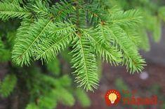 Tinktúra z ihličia je výborná na potieranie pri reumatických bolestiach či pri iných problémoch pohybového aparátu. Je fantastický na reumu, opuchy kĺbov, kŕče a bolesti. Ide o starý a o overený recept našich babičiek, ktoré takto liečili a zmierňovali bolestivé ochorenia a reumatické zápaly. Ohromná pomoc, ktorá sa vám bude hodiť aj v dnešnej dobe.... Plant Leaves, Plants, Alcohol, Plant, Planets