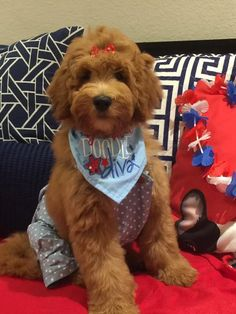 Goldendoodle English puppies Moss Creek Goldendoodles - McDoodles Teddy Bear Goldendoodles