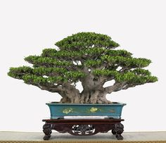 Ficus microcarpa bonsai in a beautiful dish Bonsai Tree Types, Indoor Bonsai Tree, Bonsai Plants, Bonsai Garden, Garden Plants, Bonsai Trees, Bonsai Ficus, Sarah's Garden, Ikebana