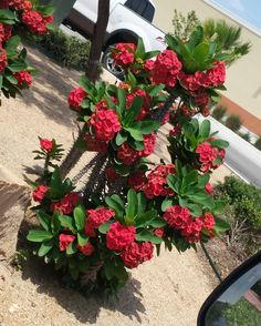 Photo of Crown of Thorns Christ Plant Siamese Lucky Plant Thai