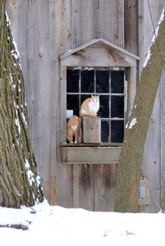 Winter Time At The Barn,,Cats In Window