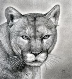 how to draw a realistic puma, mountain lion