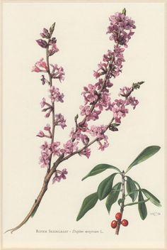 Vintage Botanical Print, Daphne mezereum, February daphne, mezereon, Lithograph Print. Botany Illustration published in 1960, beautifully detailed, brilliantly colored, perfect for framing. Condition: very good. Original print! Technique: Offset Lithography. Paper size approx 10.6 x 7.5inches (27 x 19 cm) including border. Origin: Hamburg, Germany. Scientific description (in German) printed on the reverse. Please look at the pictures carefully, read the description of each item and exam...