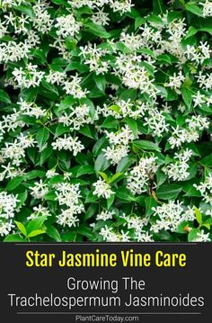 Trachelospermum Jasminoides - Star Jasmine Vine likes to scramble vertically up other plants, inedible fruits but extremely fragrant blooms. Porch Plants, Garden Plants, Garden Beds, Star Jasmine Vine, Trachelospermum Jasminoides, Jasmine Plant, Ground Cover Plants, Gardens