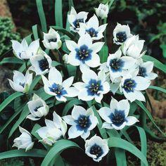 Tulip Blue Star from Jung Seed - Year of the Tulip - National Garden Bureau Tulips Garden, Garden Bulbs, Tulip Bulbs, Bulb Flowers, Annual Plants, Garden Seeds, Flower Market, Blooming Flowers, Flower Seeds