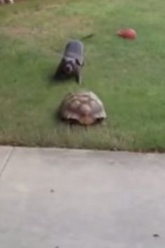 This Pit Bull And Tortoise Are Here To Remind You That BFFs Come In All Shapes And Sizes