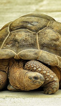 How Long do Tortoises Live? The Life of a Tortoise Tortoise As Pets, Tortoise Food, Sulcata Tortoise, Giant Tortoise, Tortoise Turtle, Tortoise House, Beautiful Creatures, Animals Beautiful, Cute Animals