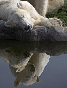 Dreaming of love? polar bear