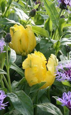 Flockenblumen sind tolle Beetpartner für die gelbe Tulpe