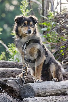 Sad chained dog on a pile of wood.