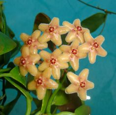 Hoya flavida Cutting IML 0423 [0423x] - $8.00 : Buy Hoya Plants Online in Many Species from SRQ Hoyas Today!