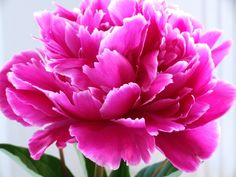 Peonies and Spring! Tattoo idea?