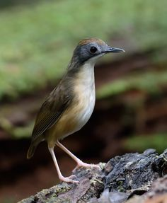 Short-tailed Babbler (Malacocincla malaccensis) a ground babbler - PELLORNEIDAE.