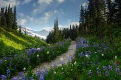 ***Mazama Ridge Trail (Mount Rainier, Washington) by Pedalhead'71 E