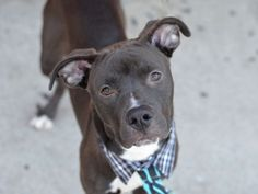 CUPS - A1034495 - - Brooklyn TO BE DESTROYED 05/13/15 Cute + Pup = Cups ! Puppies bring smiles and Cups is the real deal. Just seven months old, full of energy and spunk, Cups is happy puppy full of love. This black and white Pittie was surrendered as a stray, and the NYCACC has listed him to be destroyed tomorrow. Please put out the alerts, share, advocate,and pledge, this innocent forty one pound puppy has no business being destroyed by an overused shelter that serial ki