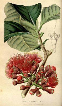 51624 Syzygium malaccense (L.) Merr. & L.M.Perry [as Jambosa malaccensis (L.) DC.]  / Houtte, L. van, Flore des serres et des jardin de l'Europe, vol. 5: p. 429 (1849) [W.H. Fitch (copied frpm Bot. Mag.)]