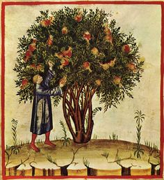 melograno Tacuina sanitatis (XIV secolo)