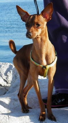 Simba,miniature pinscher