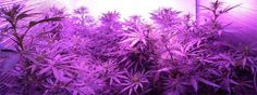 Did you know that LED grow lights have improved exponentially over the last few years for growing cannabis? The models available now can produce fast-growing healthy plants with dense buds and great yields. Learn more: Marijuana Plants, Cannabis Plant, Cannabis Cultivation, Weed Memes, Cannabis Growing, Led Grow Lights, Small Gardens, Plant Care, Horticulture