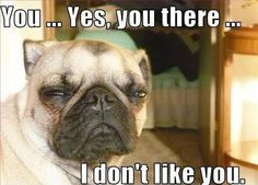 Lol even when they're angry, pugs are adorable!