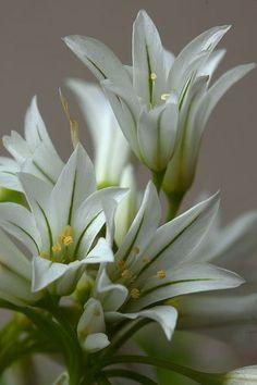 Alium triquetrum by mariluzpicado, via Flickr (via Pin by Melanie E on Flowers | Pinterest)