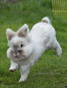 Funny bunny, Lionhead hopping.