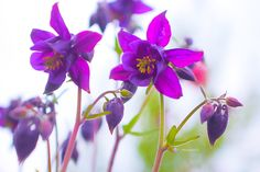 Photograph From nowhere an aquilegia appears by Anastasia Ri on 500px