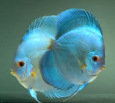 Saltwater Aquarium - Find incredible deals on Saltwater Aquarium and Saltwater Aquarium accessories. Let us show you how to save money on Saltwater Aquarium NOW! Tropical Fish Aquarium, Freshwater Aquarium Fish, Underwater Creatures, Ocean Creatures, Betta, Aquariums, Life Under The Sea, Discus Fish, Salt Water Fish
