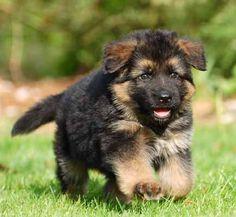 oudduitse herder pups