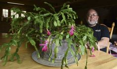 Christmas cactus is a treasured family heirloom dating back to 1912.