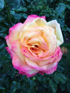 Rose Garden-Portland